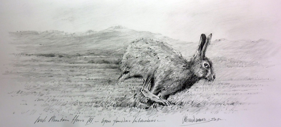 irish-mountain-hare-three