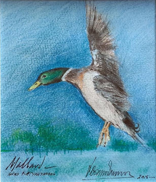 mallard-drawing